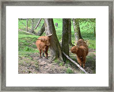 Fuzzy Cows Framed Print by Bob Jackson