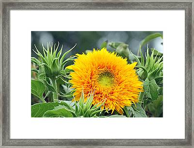 Fuzzy Sunflower Framed Print by Becky Lodes
