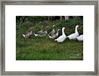 Gaggle Of Geese Framed Print by Kaye Menner