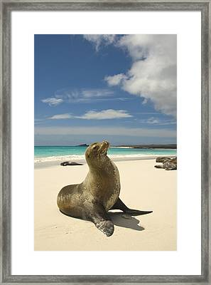 Galapagos Sea Lions Resting On A White Framed Print by Annie Griffiths