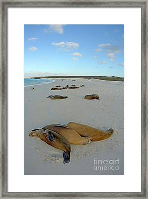 Galapagos Sea Lions Sleeping On Beach Framed Print by Sami Sarkis