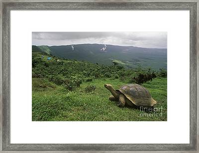 Framed Print featuring the photograph Galapagos Tortoise - Alcedo Crater Galapagos by Craig Lovell