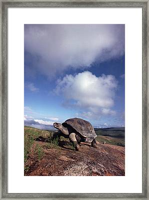 Galapagos Tortoise On Isla Isabella Framed Print by Tui De Roy