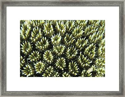 Galaxy Coral Framed Print by Alexis Rosenfeld
