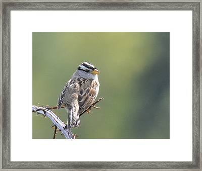 Framed Print featuring the photograph Gambel's White Crowned Sparrow by Ronda Broatch