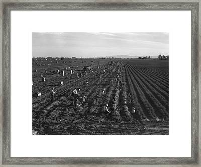 Gang Labor Of Mexicans And White Framed Print