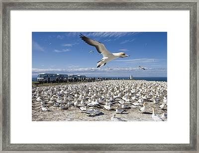 Gannet Safari At Cape Kidnappers Gannet Colony Framed Print by Holger Leue