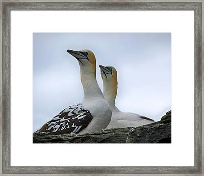 Framed Print featuring the photograph Gannets by Lynn Bolt