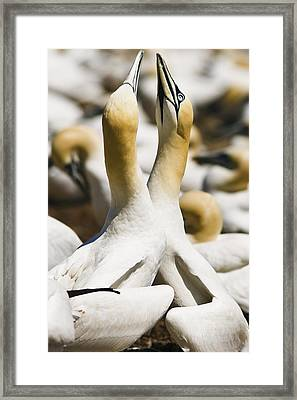 Gannets, Parc National De Framed Print by Yves Marcoux