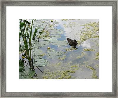 Garden Duck Framed Print by Audra Crouch