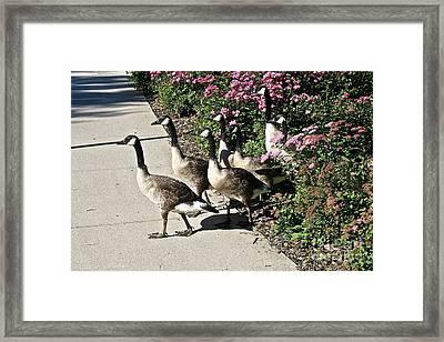 Garden Geese Parade Framed Print by Susan Herber