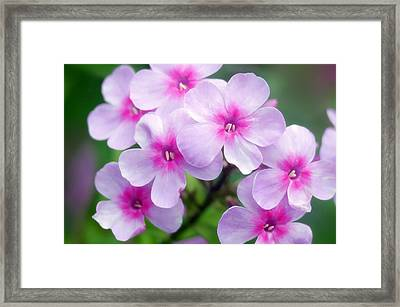 Garden Phlox (phlox Paniculata) Framed Print by Maria Mosolova
