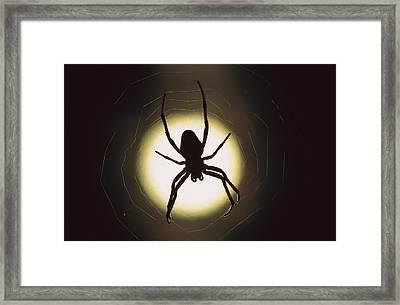 Garden Spider Araneus Sp Silhouetted Framed Print