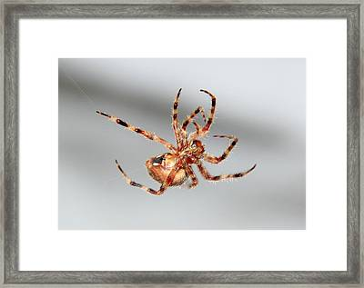 Garden Spider Number 1 Framed Print