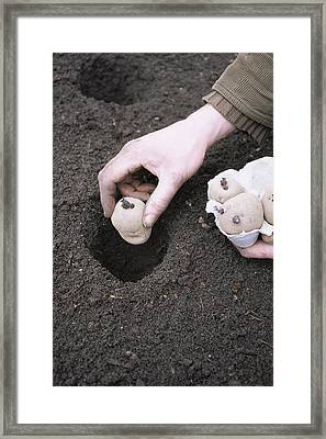Gardener Planting Chitted Potatoes Framed Print by Maxine Adcock