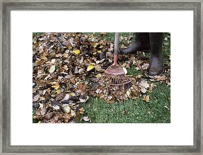Gardener Raking Leaves Framed Print by Maxine Adcock