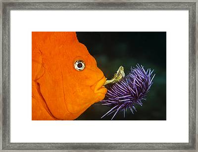 Garibaldi Damselfish Framed Print by Mike Raabe