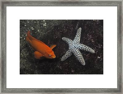 Garibaldi With Starfish Underwater Framed Print by Flip Nicklin