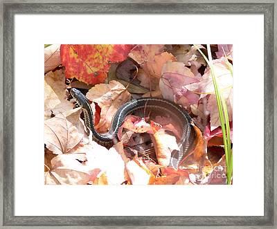 Garter Snake Framed Print by Kevin Fortier