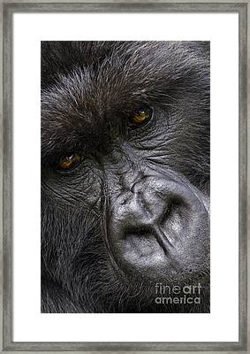 Framed Print featuring the photograph Garunda The Gorilla - Rwanda by Craig Lovell