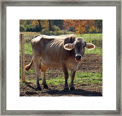 Gasping Cow Framed Print
