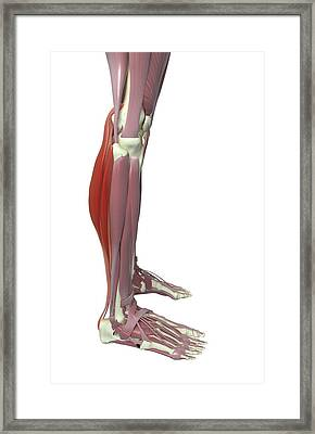 Gastrocnemius And Soleus Muscle Framed Print by MedicalRF.com