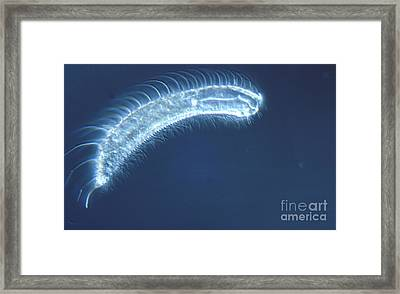 Gastrotrich Framed Print by M. I. Walker