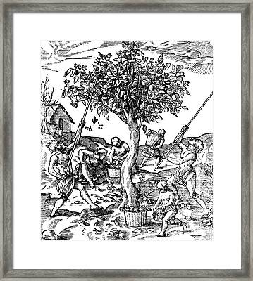 Gathering Pepper In India, 1579 Framed Print by Science Source