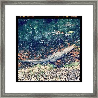 Gator Ate My Golf Ball #golf #gator Framed Print