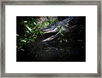 Gator Reflect Framed Print by Karol Livote