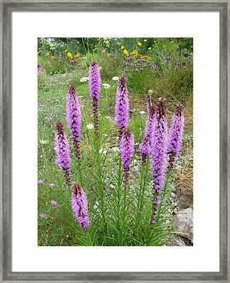 Gay Feather Framed Print by Robert P Hedden