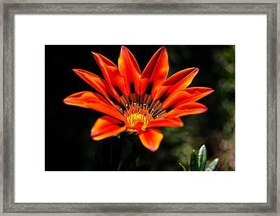 Framed Print featuring the photograph Gazania Krebsiana Flower by Werner Lehmann