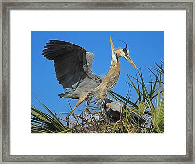 Great Blue Heron Courtship Display Framed Print by Larry Nieland