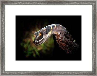 Gecko Framed Print by Kristian Bell