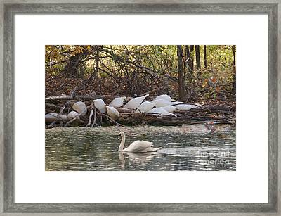 Geese Cocoons Framed Print by David Arment