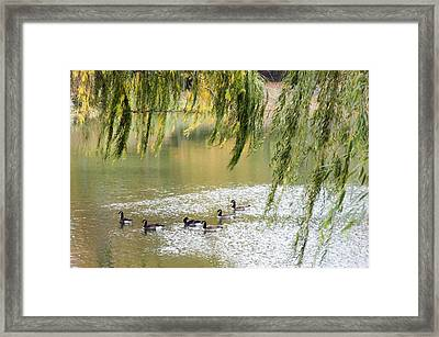 Geese In Central Park Framed Print by Stacy Gold
