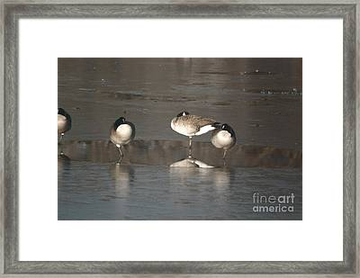 Framed Print featuring the photograph Geese On One Leg by Mark McReynolds