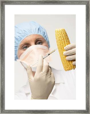 Genetically Engineered Sweetcorn Framed Print by Mark Sykes