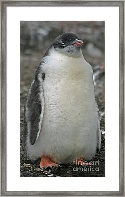 Gentoo Penguin Chick 14 Framed Print by Ruth Hallam
