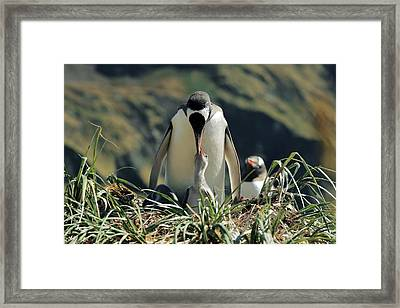 Gentoo Penguin Feeding Chick Framed Print