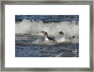 Gentoo Penguin Pair Coming Ashore South Framed Print by Flip Nicklin