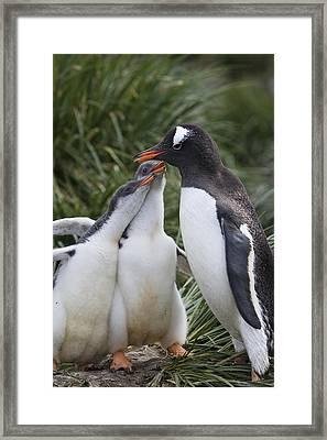 Gentoo Penguin Parent And Two Chicks Framed Print by Suzi Eszterhas
