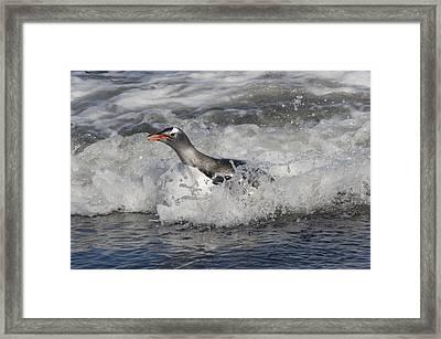 Gentoo Penguin Riding Surf To Shore Framed Print by Flip Nicklin