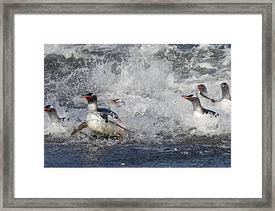 Gentoo Penguins Coming Ashore South Framed Print by Flip Nicklin