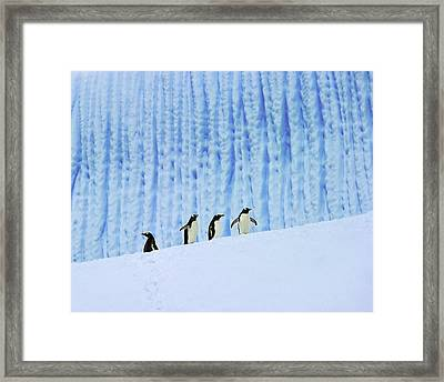 Gentoos On Ice Framed Print by Tony Beck