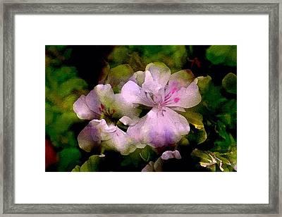 Geranium 8 Framed Print by Pamela Cooper