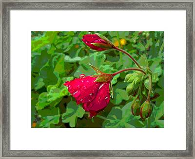 Geranium Buds With Rain Framed Print by Padre Art