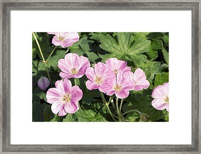 Geranium Riversleaianum 'mavis Simpson' Framed Print by Adrian Thomas