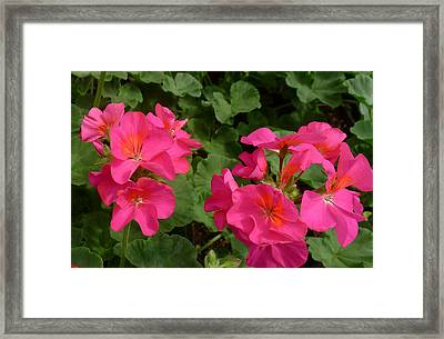 Geraniums Framed Print by Linda Pope