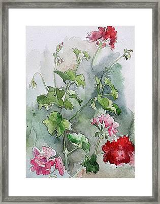 Geraniums Framed Print by Stephanie Aarons